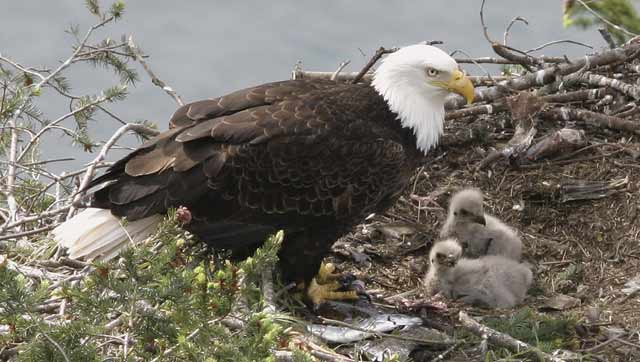 bald_eagle_nest